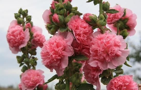 Посадка шток-розы семенами: сроки посева, правила выращивания рассады